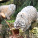 pallas_cat_both_jp